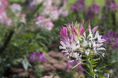Hassleriana rosado y blanco del Cleome en el jardín Foto de archivo