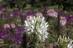 Hassleriana rosado y blanco del Cleome en el jardín Fotos de archivo libres de regalías