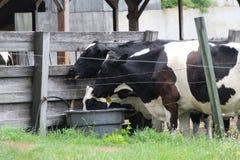 Hasta que las vacas vuelven a casa o beben el agua Fotos de archivo