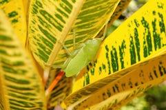 hastata Brown-enfrentado de Copiphora do katydid do portador da lança Fotos de Stock