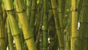 Haste ascendente próxima do bambu no tronco do verde do fundo da floresta da selva da árvore do cana-de-açúcar na floresta úmida  video estoque