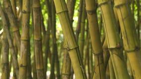 Haste ascendente próxima do cana-de-açúcar no tronco verde do fundo da floresta da selva da árvore de bambu na floresta úmida tro video estoque