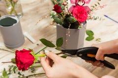 Haste cor-de-rosa do corte fêmea das mãos com tesoura de podar manual fotos de stock