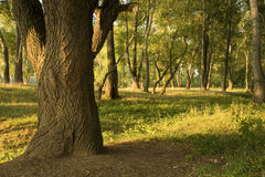 Haste da árvore velha Foto de Stock Royalty Free