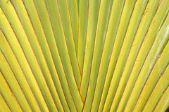 Haste da folha da palma do viajante Imagem de Stock