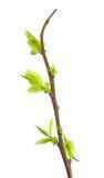 Haste da uva-do-monte que mostra o crescimento novo fotografia de stock