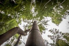 Haste de bambu que alcança no céu Imagens de Stock