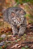 Haste de Bobcat Kitten (rufus do lince) Fotografia de Stock Royalty Free