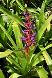 Haste de flor roxa e vermelha colorida de uma bromeliácea Fotos de Stock Royalty Free