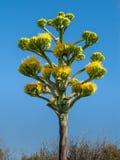 Haste de Infloresence da agave com flores amarelas Imagem de Stock