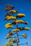 Haste de Infloresence da agave com flores amarelas Imagem de Stock Royalty Free