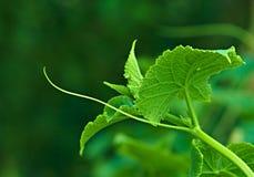 Haste de plantas do pepino Fotografia de Stock