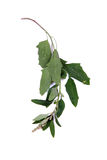 Haste do Chenopodium imagem de stock