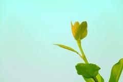 Haste do verde da árvore de Banyan que confirma a cabeça Imagens de Stock