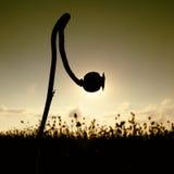 Haste dobrada da semente de papoila Nivelando o campo das cabeças da papoila As flores secas estão esperando a colheita Fotos de Stock