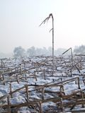 Haste e neve do milho Imagem de Stock Royalty Free