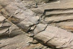 Haste fóssil da planta Imagem de Stock