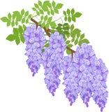 Haste lilás azul da glicínia ilustração do vetor