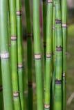 Haste longa do equiseto Papel de parede verde com bambu fotografia de stock royalty free