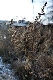 Haste seca de uma erva daninha no inverno no sol da manhã Fotos de Stock Royalty Free