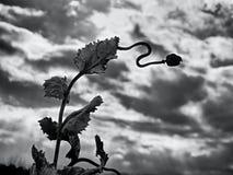 Haste seca longa da semente de papoila Nivelando o campo das cabeças da papoila Imagens de Stock Royalty Free