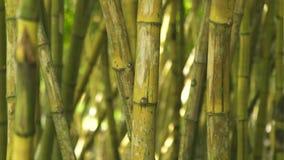 Haste verde do bambu no fim da floresta da selva acima do tronco verde da árvore do cana-de-açúcar na floresta úmida tropical filme