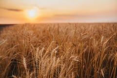 Hastes amarelas orgânicas maduras do trigo no campo no campo no fim do verão foto de stock royalty free