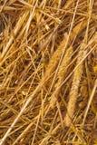 Hastes da grama em um monte de feno Fotos de Stock Royalty Free