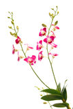 Hastes da orquídea tropical vermelha do dendrobium imagens de stock royalty free
