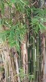 Hastes das plantas de bambu Foto de Stock Royalty Free