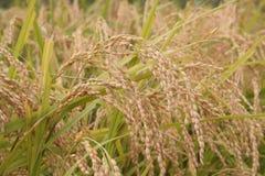 Hastes do arroz Foto de Stock Royalty Free