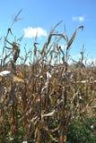 Hastes do milho contra um céu azul Fotografia de Stock