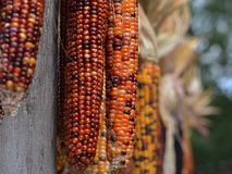 Hastes do milho indiano Foto de Stock Royalty Free