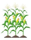 Hastes do milho isoladas no fundo branco Plantas de milho verde na ilustração do vetor do campo no projeto liso ilustração stock