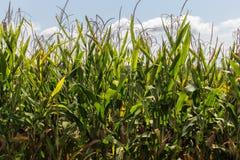 Hastes do milho no sol da tarde Fotos de Stock