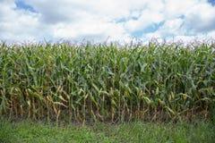 Hastes do milho no sol da tarde Fotos de Stock Royalty Free