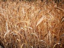 Hastes do trigo maduro no campo sob o sol do verão dos raios Fotografia de Stock Royalty Free