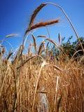 Hastes do trigo maduro no campo sob o sol do verão dos raios Fotos de Stock