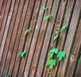 Hastes dos lúpulos em uma cerca de madeira Foto de Stock