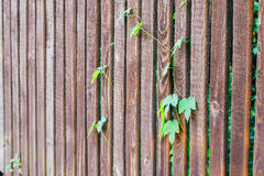 Hastes dos lúpulos em uma cerca de madeira Fotografia de Stock Royalty Free