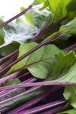 Hastes e folhas frescas das beterrabas Fotos de Stock Royalty Free