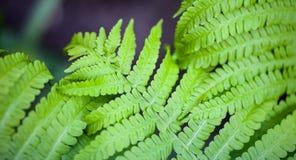 Hastes e folhas verdes da samambaia Fotos de Stock