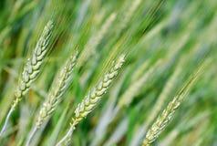 Hastes novas do trigo Imagem de Stock
