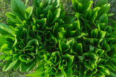 Hastes verdes imagem de stock