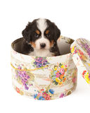 Hat box puppy Stock Photography