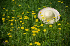 Hat dandelion meadow Stock Image