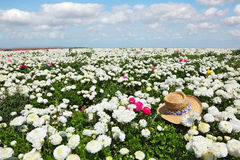 The hat on field of white flowers Stock Images