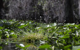 Hat Pin swamp plant flora, Okefenokee Swamp National Wildlife Refuge Stock Photography