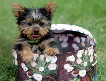 Hat trick. Yorkshire Terrier puppy in a hat box Royalty Free Stock Photo