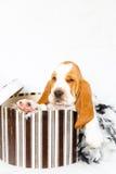 Hatboxbasset hondenpuppy royalty-vrije stock fotografie